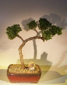 Juniper Bonsai Tree For Sale #48 - Trained (juniper procumbens nana)