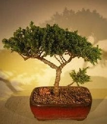 Juniper Bonsai Tree For Sale #49 - Trained (juniper procumbens nana)