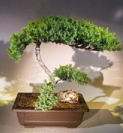 Juniper Bonsai Tree For Sale #58 - Trained (juniper procumbens nana)