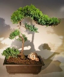 Juniper Bonsai Tree For Sale #60 - Trained (juniper procumbens nana)