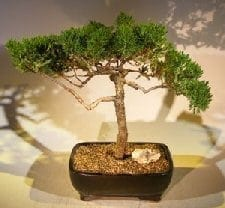 Juniper Bonsai Tree For Sale #57 - Trained (juniper procumbens nana)