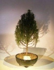 Flowering Rosemary Bonsai Tree For Sale #2 (rosmarinus officinalis)
