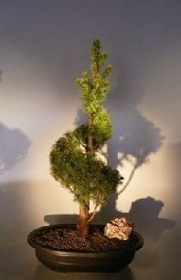 Dwarf Alberta Spruce Bonsai Tree For Sale Spiraled Trunk (Picea Glauca Conica)
