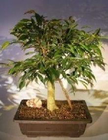 Ficus Oriental Bonsai Tree For Sale Banyan Roots (ficus orientalis)