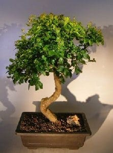 Flowering Ligustrum Bonsai Tree For Sale Curved Trunk Style (ligustrum lucidum)