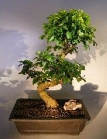 Flowering Ligustrum Bonsai Tree For Sale Curved Trunk Style) (ligustrum lucidum)
