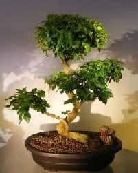 Flowering Ligustrum Bonsai Tree For Sale Curved Trunk & Tiered Branching Style (ligustrum lucidum)