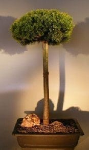 Mugo Pine Bonsai Tree For Sale Upright Broom Style (pinus mugp 'valley cushion')