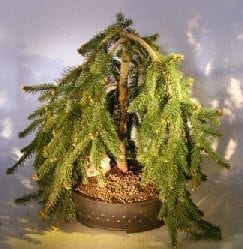 Dwarf Weeping Norway Spruce Bonsai Tree For Sale (picea abies 'glauca pendula')