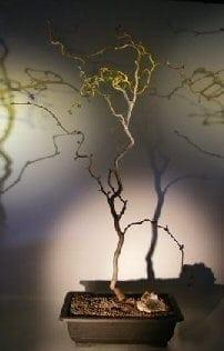Walking Stick Bonsai Tree For Sale (corylus avellana 'contorta')