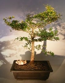 Dwarf Black Olive Bonsai Tree For Sale (bucinda spinosa)