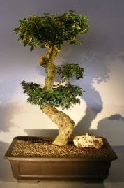 Flowering Fukien Tea Bonsai Tree For Sale Curved Trunk & Tiered Branching (ehretia microphylla)