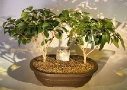 Flowering Ligustrum Bonsai Tree For Sale Two Tree Group (ligustrum lucidum)