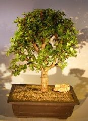 Baby Jade Bonsai Tree For Sale #4(Portulacaria Afra)