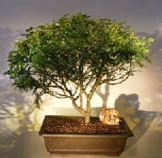 Flowering Chinese Pepper Bonsai Tree For Sale #1 (zanthoxylum piperitum)