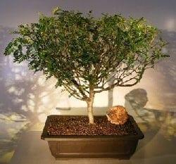 Flowering Chinese Pepper Bonsai Tree For Sale 2 Zanthoxylum Piperitum Bonsai Tree Gardener