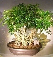 Hawaiian Umbrella Bonsai Tree For Sale Banyan Style #6 (arboricola schfflera)
