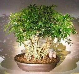 Hawaiian Umbrella Bonsai Tree For Sale Banyan Style 6 Arboricola Schfflera Bonsai Tree Gardener