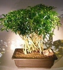 Hawaiian Umbrella Bonsai Tree For Sale Banyan Style #3 (arboricola schfflera)