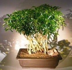 Hawaiian Umbrella Bonsai Tree For Sale Banyan Style 3 Arboricola Schfflera Bonsai Tree Gardener