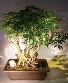 Hawaiian Umbrella Bonsai Tree For Sale Banyan Style #4 (arboricola schfflera)