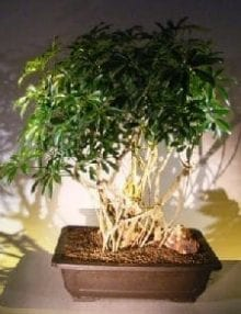 Hawaiian Umbrella Bonsai Tree For Sale Banyan Style #5 (arboricola schfflera)
