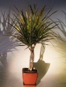 Dracena Bonsai Tree For Sale Braided Trunk (Dracena Marginata)