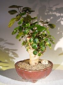 Aralia Balfouriana Bonsai Tree For Sale (Polyscias Balfourinna 'marginata')