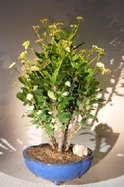 Flowering Crown of Thorns Bonsai Tree For Sale #3 - Cream / Yellow (euphorbia milii)