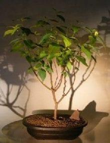 Red Twig Dogwood Bonsai Tree For Sale (cornus alba)
