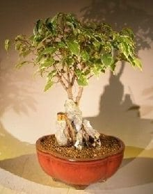 Oriental Ficus Bonsai Tree For Sale Root Over Rock Stone Landscape Scene (ficus benjamina 'orientalis')