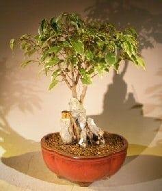 Oriental Ficus Bonsai Tree For Sale Root Over Rock Stone Landscape Scene (ficus benjamina 'orientalis')