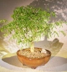 Flowering Brazilian Raintree Bonsai Tree For Sale #1 (pithecellobium tortum)