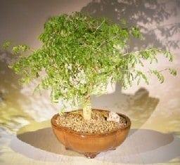 Flowering Brazilian Raintree Bonsai Tree For Sale #1 (pithecellobium tortum)