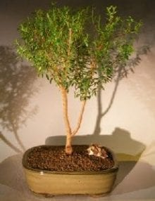 Flowering Myrtle Bonsai Tree For Sale Upright Style #2 (myrtus communis 'compacta')