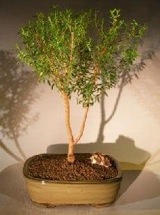 Flowering Myrtle Bonsai Tree For Sale Upright Style #2 (myrtus communis 'compacta')