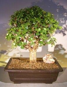 Baby Jade Bonsai Tree For Sale 2 Portulacaria Afra Bonsai Tree Gardener