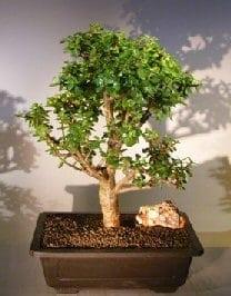 Baby Jade Bonsai Tree For Sale #6 (Portulacaria Afra)