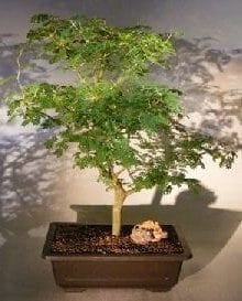 Flowering Brazilian Raintree Bonsai Tree For Sale #5 (pithecellobium tortum)