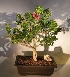 Bougainvillea Bonsai Tree For Sale #3 - Flowering Vine (pink pixie)