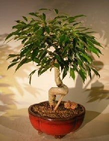 Oriental Ficus Bonsai Tree For Sale Coiled Trunk (benjamina 'orientalis')