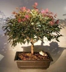 Flowering Chinese Fringe Bonsai Tree For Sale #2 (loropetalum chinensis)
