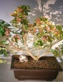 Bougainvillea Bonsai Tree For Sale #4 - Flowering Vine (pink pixie)
