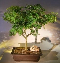 Flowering Brazilian Raintree Bonsai Tree For Sale #6 (pithecellobium tortum)