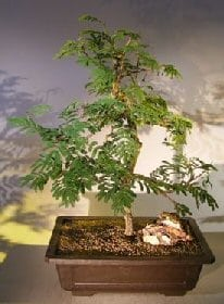 Flowering Princess Earrings Bonsai Tree For Sale #1 (dichrostachys cinerea)