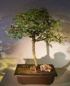 Flowering Princess Earrings Bonsai Tree For Sale #2 (dichrostachys cinerea)