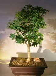 Flowering Parrot's Beak Bonsai Tree For Sale (gmelina philippensis)