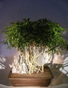 Hawaiian Umbrella Bonsai Tree For Sale Braided Banyan Roots (arboricola schfflera)