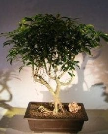Hawaiian Umbrella Bonsai Tree For Sale Exposed Roots (arboricola schefflera)