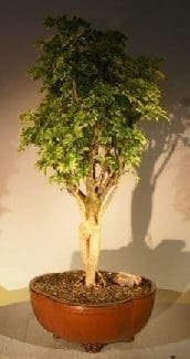 Aralia Balfouriana Bonsai Tree For Sale #2 - Variegated ('balfouriana')